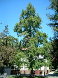 metasequoia wikipedia