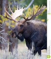 spectacular image of bull moose stock photo image 42953317