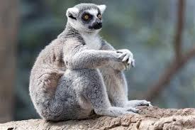 Lemur Meme - meme creator lemur meme creator