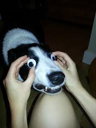 Googly Eyes Meme - tried to put googly eyes on my dog imgur