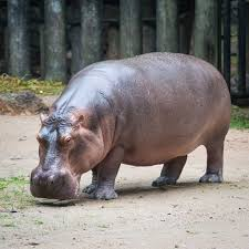 why is a hippopotamus called a river horse pitara kids network