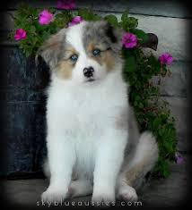 miniature australian shepherd 8 weeks 8 week old blue merle australian shepherd puppy rory see more of