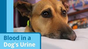 treating hematuria in dogs blood in the urine in dogs petmd
