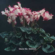 compare prices on plant cyclamen online shopping buy low price