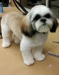 haircuts for shih tzus males teddy shih tzu clip shih tuzs pinterest dog shih tzus and