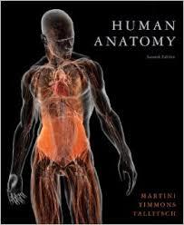 Human Anatomy Pic Extensor Renal Fasciae Human Anatomy Textbook Lymph Vessels