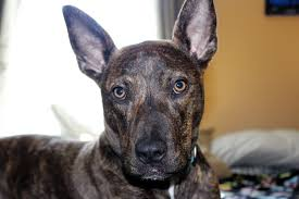 american pitbull terrier doberman mix mixed dog breeds shop for your cause