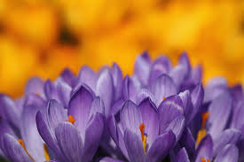 spring flower tulip magic legends and folklore