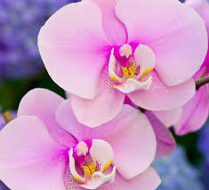 orchid pictures orchid perfume ingredient orchid fragrance and essential oils