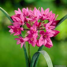 allium flowers allium oreophilum american