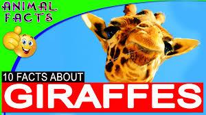 koala fun facts for kids u2013 australian animals u2013 animal facts