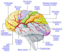 Which Part Of The Brain Consists Of Two Hemispheres Brain Epilepsy Awareness Program Middle East Medical Information