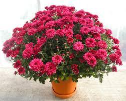 mums flower fall mums michler u0027s florist greenhouses u0026 garden design