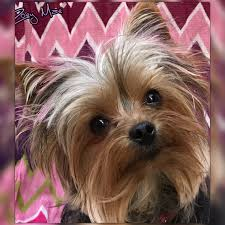 yorkie hair cut chart zoey my yorkie puppy pinterest yorkies yorkshire terrier
