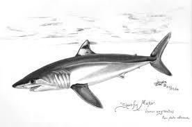 mako shark clipart drawn pencil and in color mako shark clipart