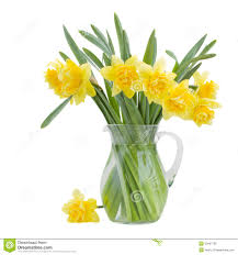 bouquet of blooming daffodils royalty free stock images image