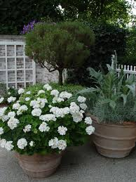 Shrubs For Patio Pots For A Mass Of White Flowers All Summer Long Plant A Pot Of White