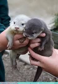 Sea Otter Meme - baby sea and river otters the one baby animal that looks like a