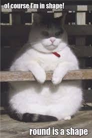 Fat Cat Meme - funny cute fat cat meme joke quotesbae