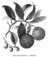 strawberry tree stock images royalty free images u0026 vectors