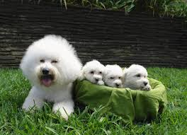 bichon frise kentucky bichon frise puppy picture christine bork bichon beauties