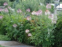 Cleome Flower - nlm herb garden gallery