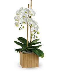 orchid plant teleflora s opulent orchids plant teleflora