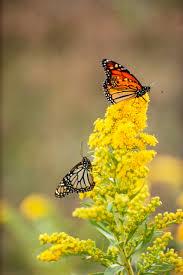 monarch butterflies on goldenrod flowers nebraska pictures