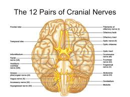cranial nerve anatomy image collections human anatomy learning