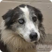 australian shepherd and border collie mix urgent i am at a full kill shelter in troy oh border collie