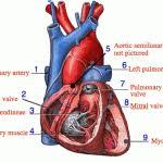 External Heart Anatomy Human Anatomy Heart Anatomy And Physiology Heart Anatomy