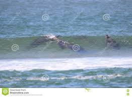 seals in the waves stock photo image 75530432