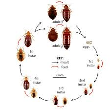 bed bug sheddings bed bug identification guide convectex bed bug heat equipment