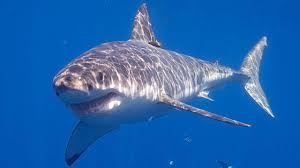 cape cod attracting large numbers of sharks the weather channel