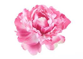 Peony Flowers by Peony Pictures Images And Stock Photos Istock