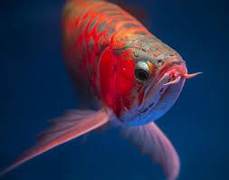 Buy Ornamental Fish Ornament Amazing Buy Ornamental Fish Arowana Fish