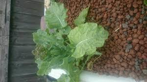 backyard aquaponics u2022 view topic broccoli issues
