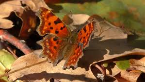 butterfly photo album butterfly anglewings polygonia c album folds its wings stock