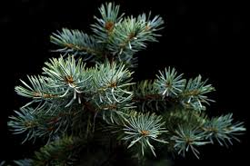 favorite new england christmas tree species new england today
