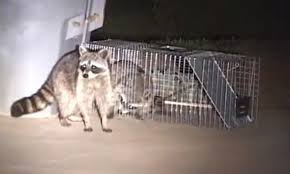 how to catch a raccoon in a live cage trap youtube