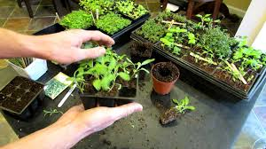 indoor herbs to grow three minute garden tips growing sage indoors from seeds to