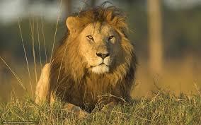 imagenes de leones salvajes gratis descargar gratis los gatos salvajes len leones los depredadores