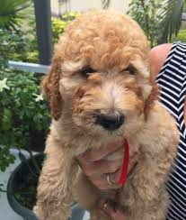 moyen poodle puppies for salewe breed quality moyen poodles how