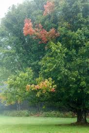 Wildfire Black Gum Tree by Shenandoah U0027s Fall Color Shenandoah National Park U S National