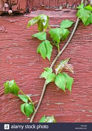 poison ivy toxicodendron radicans is a climbing plant common in