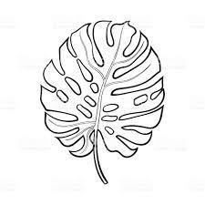 full leaf of monstera palm tree sketch vector illustration stock