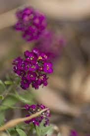 Japanese Language Of Flowers - hanakotoba u2014 the japanese language of flowers mellanlångt språk