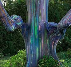 rainbow eucalyptus this multicolored tree sports such a variety