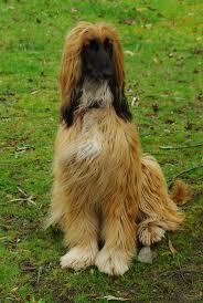 banana joe affenpinscher pedigree 98 best afghans images on pinterest afghans afghan hound and dogs