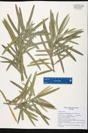 native plants of japan podocarpus macrophyllus species page isb atlas of florida plants